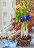 stock photo of acceleration  - Accelerated flowering bulbs on the windowsill in the early spring - JPG