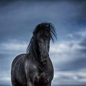 stock photo of  horse  - A black frisian horse in the open manege - JPG