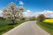 stock photo of cherry trees  - road and alley of flowering cherry - JPG