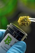 picture of ganja  - Cannabis is dispensed into a medicine bottle.