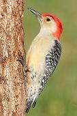 stock photo of woodpecker  - Male Red-bellied Woodpecker (Melanerpes carolinus) on a tree trunk ** Note: Shallow depth of field - JPG