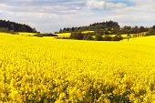 image of turnip greens  - field of rapeseed with beautiful cloud  - JPG