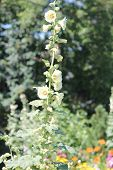 stock photo of hollyhock  - Alcea, commonly known as hollyhocks. Hollyhocks are popular garden ornamental plants. They are native to Asia and Europe, they come in a variety of colours.