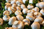 stock photo of circumcision  - Peeled mushrooms among the greenery on the table market - JPG