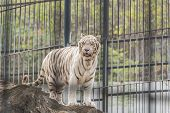 image of albinos  - albino white tiger in exotic zoo at thailand - JPG