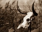 pic of cow skeleton  - A pale white Cow skull on a pole - JPG