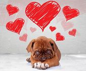 picture of sweethearts  - shy love of a dog de bordeaux puppy wit adorable face on hearts background - JPG