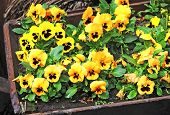 picture of viola  - Yellow Pansy  - JPG