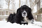 image of australian shepherd  - A black tri colored Australian shepherd dog laying in the snow looking into the camera - JPG