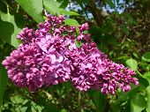 picture of lilac bush  - Purple lilac bush lit by sun in spring - JPG