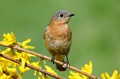 pic of bluebird  - Female Eastern Bluebird  - JPG
