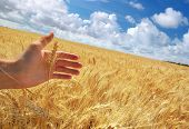 stock photo of fall-wheat  - Human hand and meadow of wheat - JPG