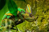 picture of chameleon  - Yemen chameleon  - JPG
