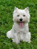 stock photo of westie  - Young west highland white terrier on the grass
