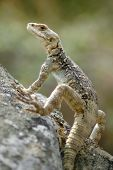 foto of lizard skin  - Big and rare Lizard in the Caucasus mountains
