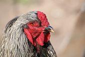 foto of brahma  - Portrait of a from the large chicken race Brahma - JPG