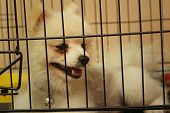 picture of caged  - Pomeranian puppy in a cage at the park