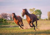 pic of wild horse running  - two brown horses are running on the field - JPG