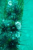 stock photo of echinoderms  - Underwater photography of sea urchins in ocean
