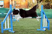 image of border collie  - border collie that jump an obstacle of dog agility - JPG