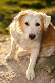 foto of pity  - Pitiful Looking Ginger Dog Outdoor on Green Background - JPG