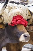 stock photo of tomas  - Typical ox of Basque Country decorated for the Oxen race typical basque rural sport. (Northern Spain).