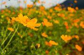 stock photo of cosmos flowers  - Orange cosmos flower in fieldCosmos flower family fompositae - JPG