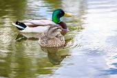 stock photo of male mallard  - Male and female mallard couple hang out in the lake. ** Note: Visible grain at 100%, best at smaller sizes - JPG