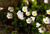 stock photo of sorrel  - Beautiful small flowers of wood sorrel blooming in early springtime in forests.