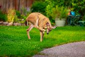 stock photo of mule  - Wild mule deer strides in suburban backyard scratching head with rear hoof - JPG