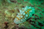 stock photo of echinoderms  - Underwater photography of a nudibranch in ocean  - JPG