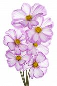 stock photo of cosmos flowers  - Studio Shot of Fuchsia and White Colored Cosmos Flowers Isolated on White Background - JPG