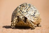 stock photo of tortoise  - Leopard tortoise walking slowly on sand with his protective shell - JPG