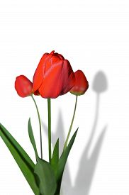 stock photo of homogeneous  - Red tulip flowers on a white background - JPG