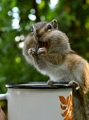 pic of chipmunks  - Chipmunk sitting on the pot eating sunflower seeds - JPG