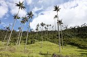 image of monocots  - Wax palms in Cocora Valley - JPG