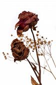 A Two Wilting Rose On White Background