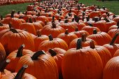 picture of jack-o-laterns-jack-o-latern  - Large orange pumpkins in a pumpkin farm - JPG
