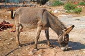Brown donkey, Halki island
