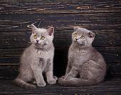 Scottish Straight And Scottish Fold Kittens. Funky Kittens Explore New Territories poster
