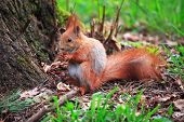 Furry Squirrel With The Nut Is Sitting By A Tree In The Spring City Park poster