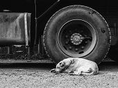 The Homeless A Dog Sleeps About A Big Truck Wheel. A Hungry Animal Without Owners. City Dog poster