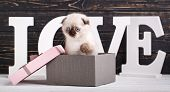 Scottish Fold Kitten. The Kitten Sits In A Gift Box. Valentines Day Greeting Card. poster