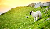 Sheep Marked With Colorful Dye Grazing In Green Pastures. Adult Sheep And Baby Lambs Feeding In Gree poster