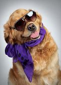 golden Retriever in Sonnenbrillen