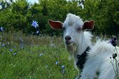 White Goat Outdoors. Goat Standing In Farm Pasture. Shot Of A Herd Of Cattle On A Dairy Farm. Nature poster