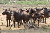 stock photo of cape buffalo  - A herd of anxious Cape buffalo bunched together - JPG