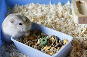 Dwarf Furry Hamster Eats Food Next To The Feeder In Cage poster