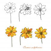 Sulfur Cosmos Hand Drawn Monochrome Sketch, Yellow Cosmos Colorful Flowers From Different Angles Des poster