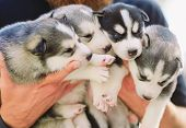 Puppies Siberian Husky. Litter Dogs In The Hands Of The Breeder. Little Puppies poster